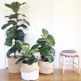 why are fiddle leaf fig trees so popular right now
