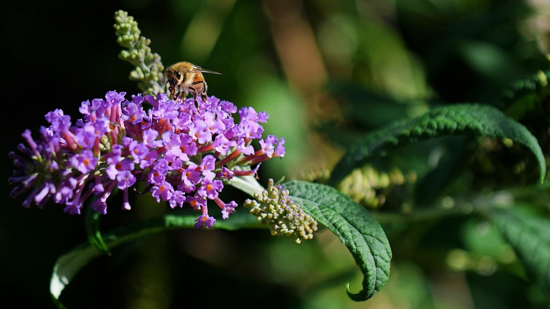 Honey bee, butterfly bush, front porch, Fox Chase