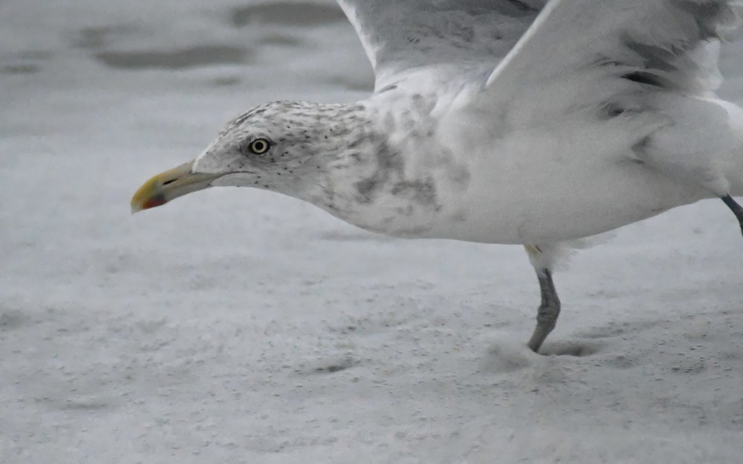 Gull head surf