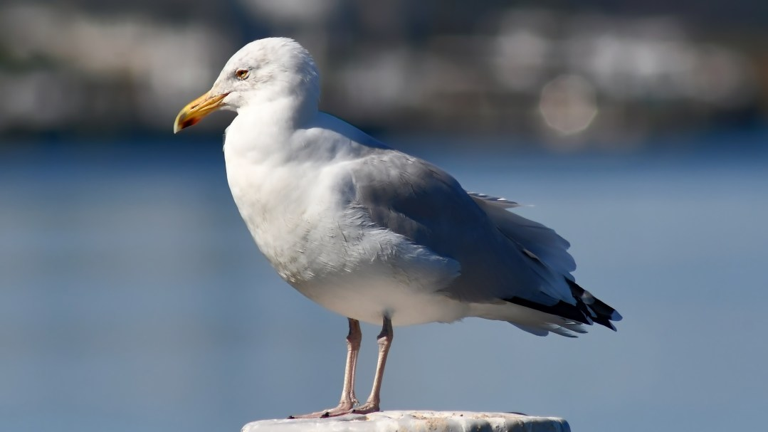 Ring-billed gull standing, Ocean City