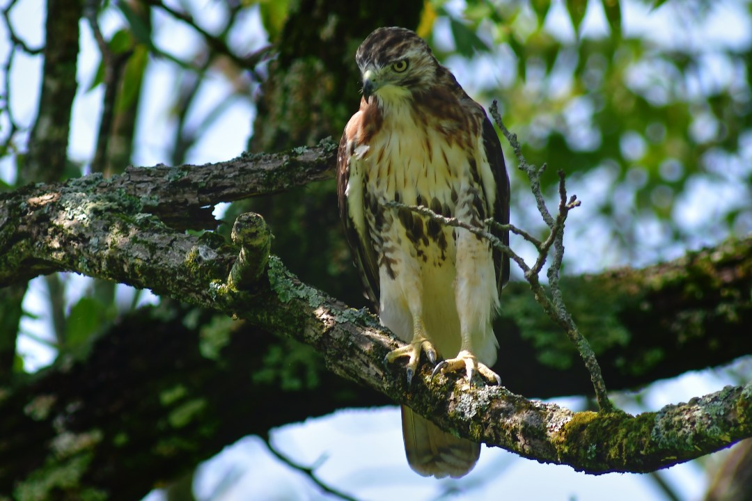 Red-tail hawk 2