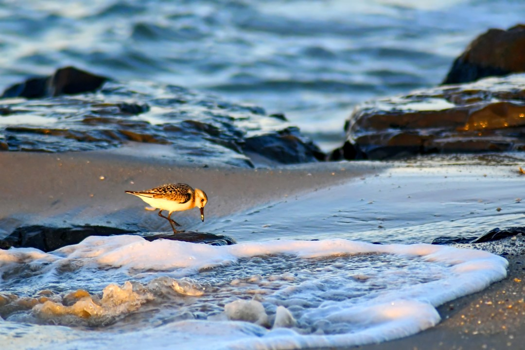 Sandpiper, jetty, Cape May, NJ