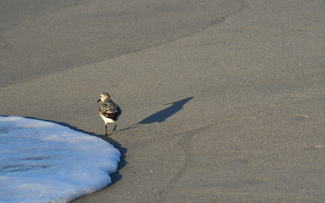 Sandpiper walkshadow, Cape May