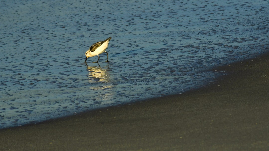 Sandpiper reflection, Cape May