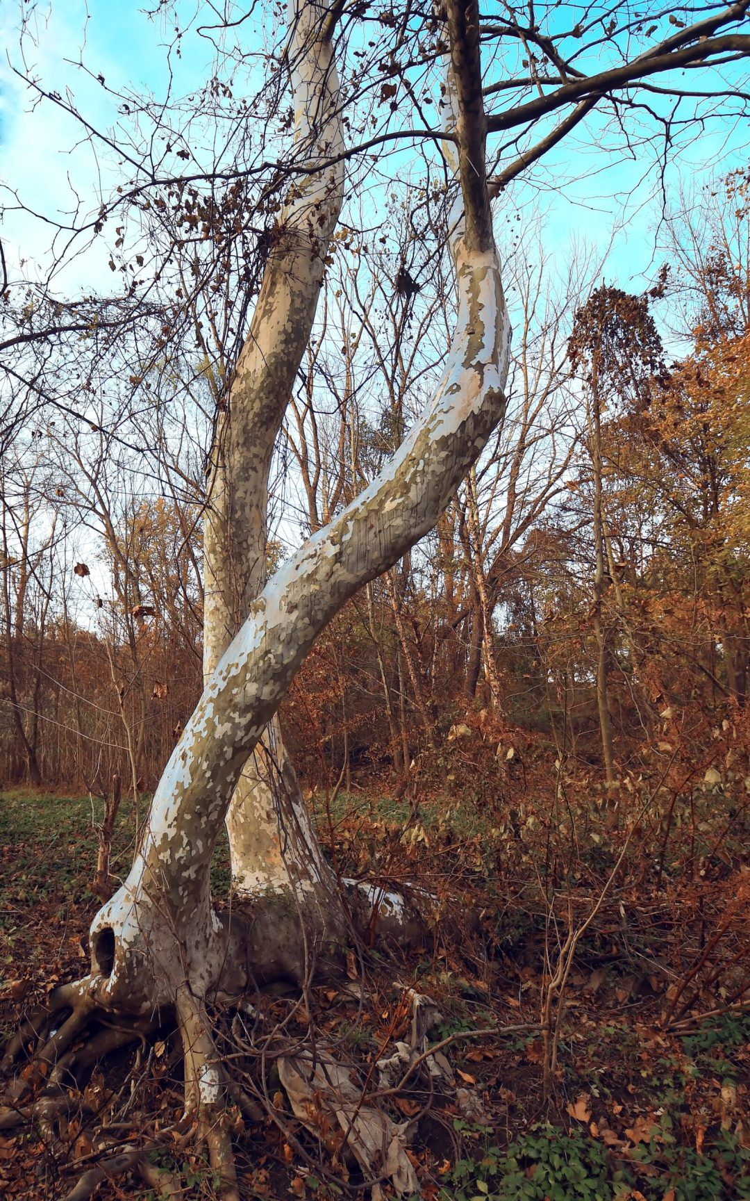 Sycamores bending 3
