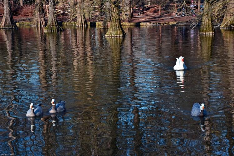 anatre che nuotano silenziose nelle acque del parco bucci