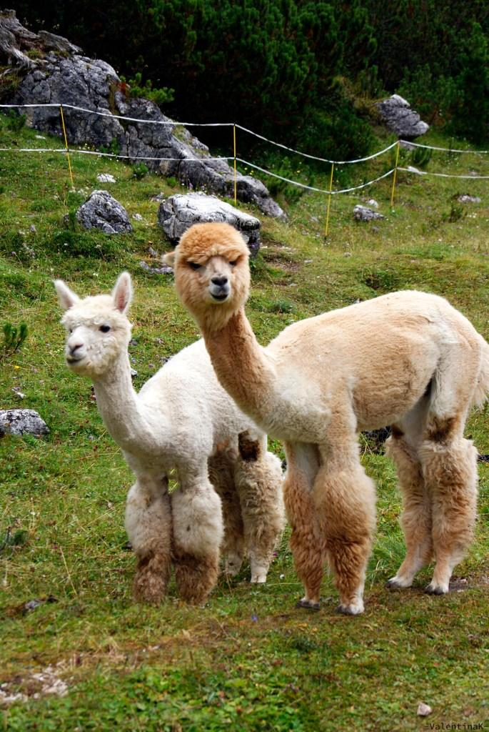 rifugio scotoni e lago lagazuoi: la coppia di simpatici alpaca del rifugio scotoni