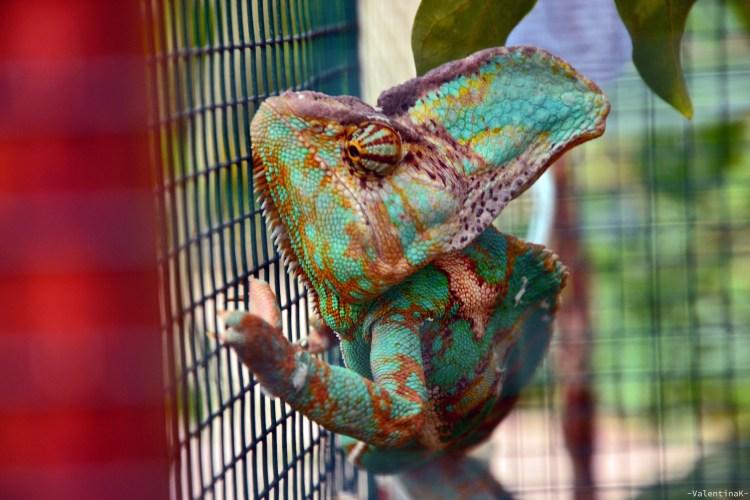 camaleonte colorato alla casa delle farfalle