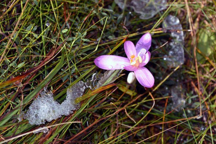 fiore di zafferano e neve