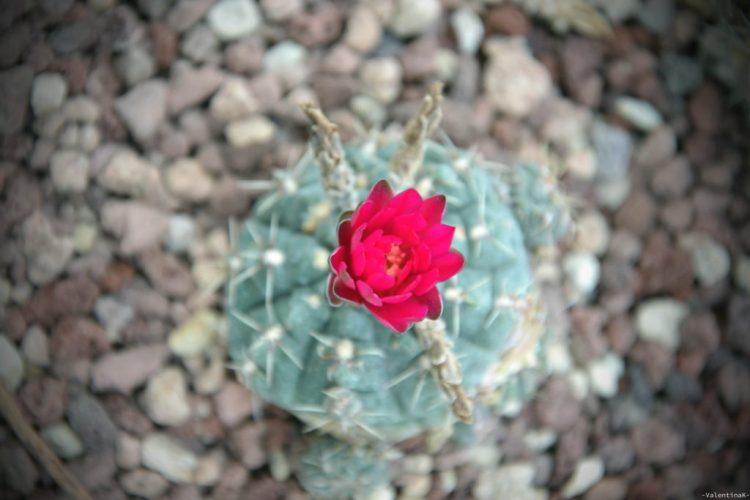 l'arte di accogliere le piccole cose: mini cactus in fiore