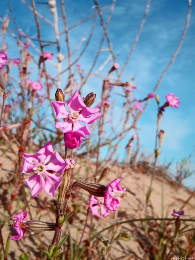 sabato d'estate a marina di ravenna: fiori rosa nell'oasi protetta
