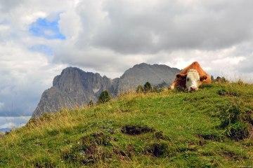 mucca riflessiva presso l'alpe di siusi
