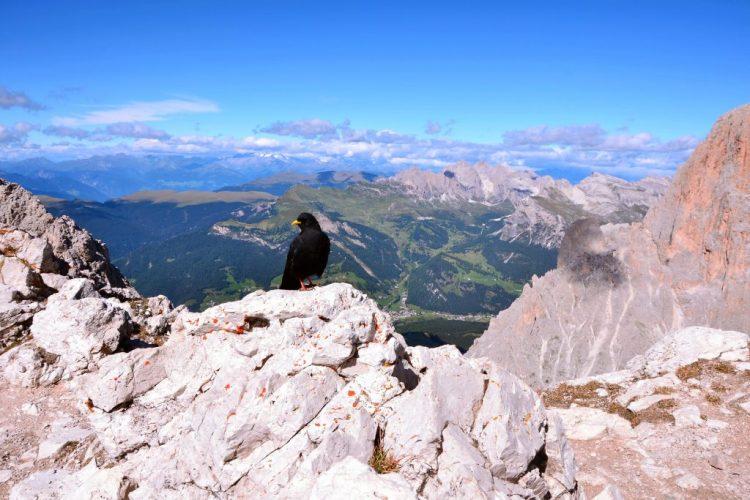 conquistare il sassopiatto: la sua cima e un gracchio alpino