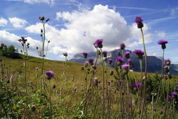 ABC dell'Alta Badia: fiori viola e sella in sfondo