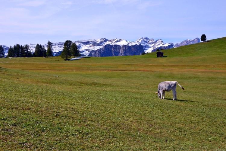 escursione ai prati dell'armentara: mucca che bruca nei prati davanti al puez