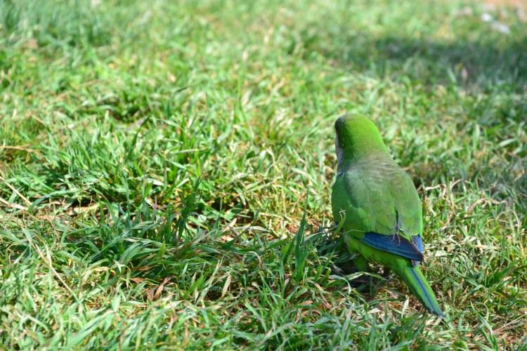 barcellona dall'alto: parrocchetto verde colto in un momento di filosofia