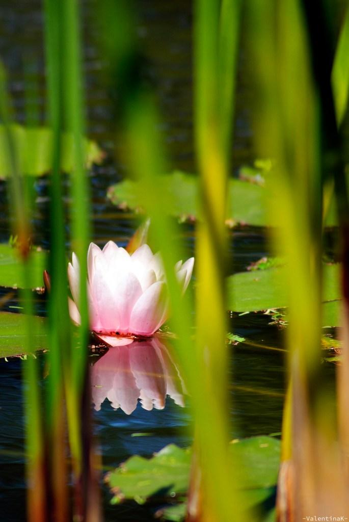 Parco Giardino Sigurtà: bellissimo fiore di loto in cornice di erba