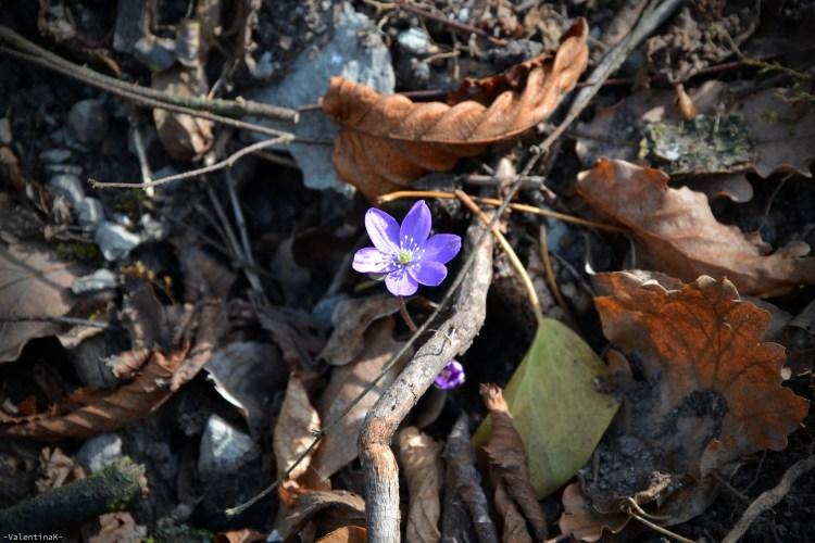 anemone epatica bellissimo, con foglie secche intorno