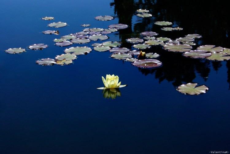 Parco Giardino Sigurtà: fiore di loto giallo