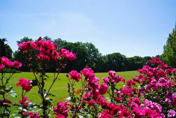 bellissime rose fucsia