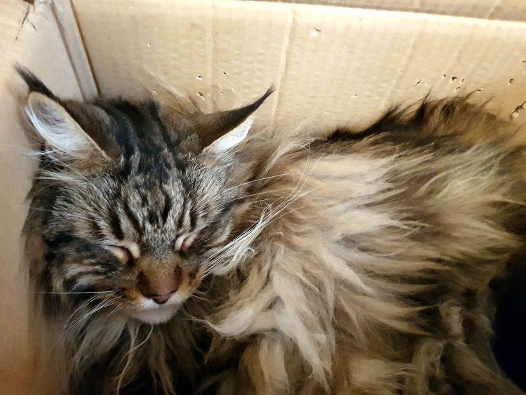 gatto maine coon tigrato che dorme in una scatola