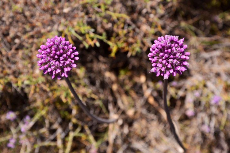 bellissimi fiori di aglio selvatico