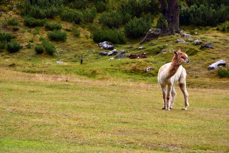 rifugio scotoni e lago lagazuoi: alpaca in posa da modello al rifugio scotoni