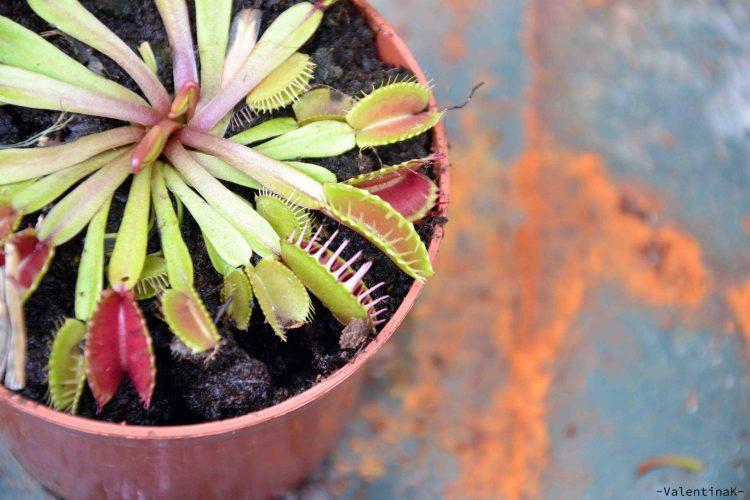 pisa e lucca: esemplare di pianta carnivora all'orto botanico di pisa