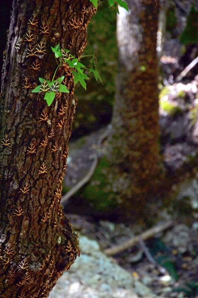 valle delle farfalle: tante farfalle sul tronco di un albero