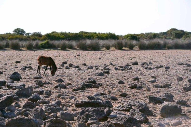 cavallino sardo sull'altopiano basaltico della giara di gesturi