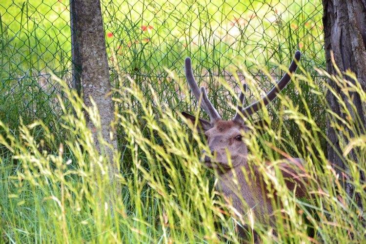 cervo poldo che osserva tra gli steli d'erba