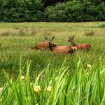 killarneyguide.ie Deer in Knockreer, Killarney