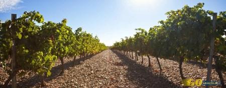 Ribera Duero viñedos