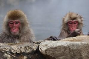 Snow monkeys in Yudanaka