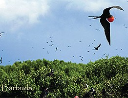 Bird Sanctuary, Barbuda