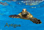 Hawksbill Turtle, Antigua