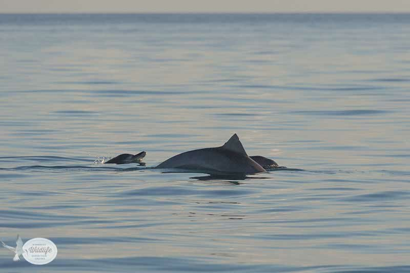 9 July 2013 – Dolphins and juvenile whale