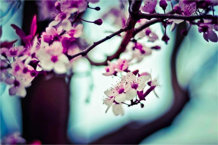 CHERRY BLOSSOM rula-sibai-pink-flowers