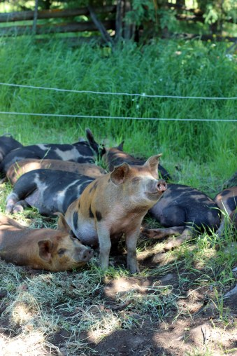 pigs lying in the shade