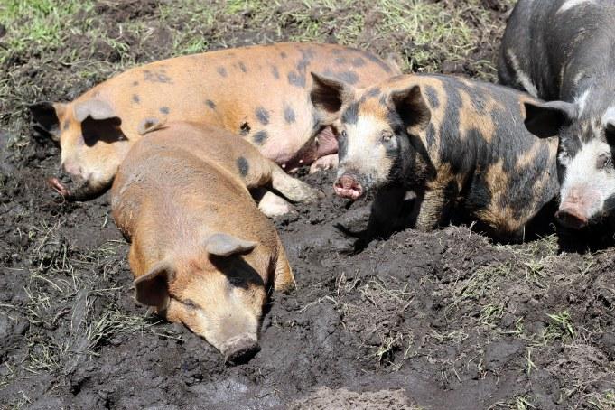 pigs lying in mud