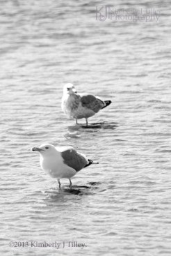 Adult and Juvenile Herring Gull
