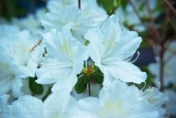 white azalea shrub