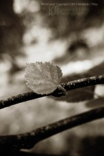 birch tree branch with leaf