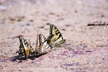 A group of Tiger Swallowtail butterflies feeding from the moist soil.