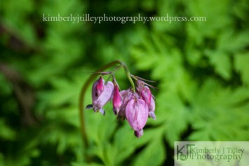 Wild pink bleeding hearts plant in a woodland area