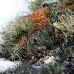 Hermit Lichen (National Science Foundation)