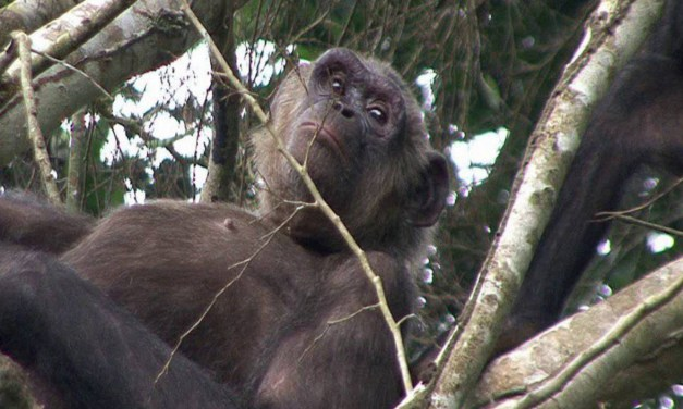 Worth Reblogging: First Chimps Released onto New Island Home