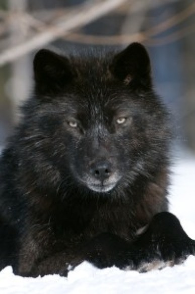 Haida (from Haliburton Wolf Ctr website)