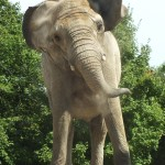 Iringa at Toronto Zoo