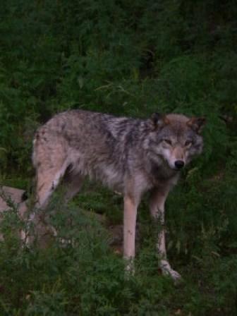 Wolf 2008 Haliburton (who?)